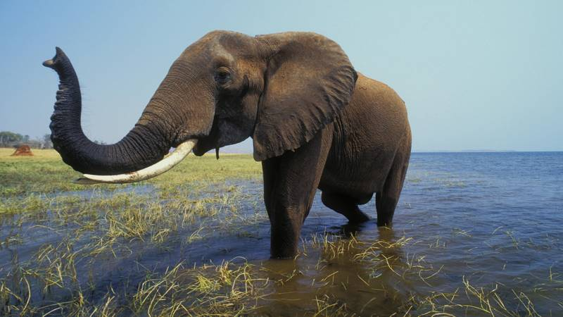 Zimbabwe To Sell 'Hunting Rights' For Endangered Elephants To Boost Tourism