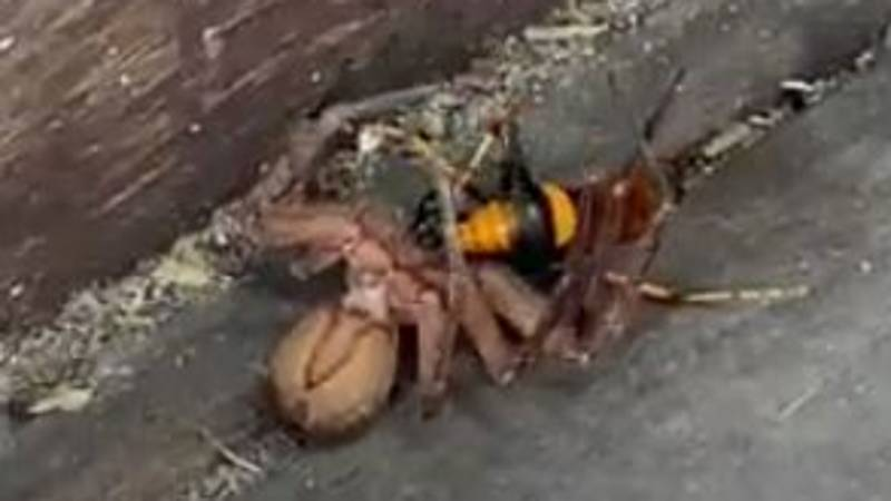 Huntsman Spider And Gigantic Wasp Battle To The Death
