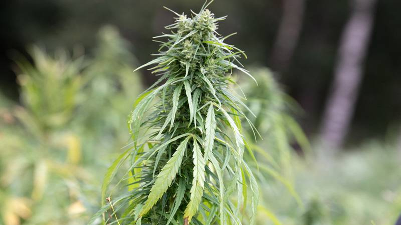 Referendum To Legalise Cannabis In New Zealand Has Officially Failed By Tiny Margin
