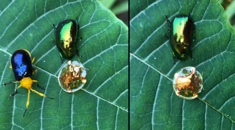 Mesmerising Golden Tortoise Beetle Looks Like The Golden Snitch