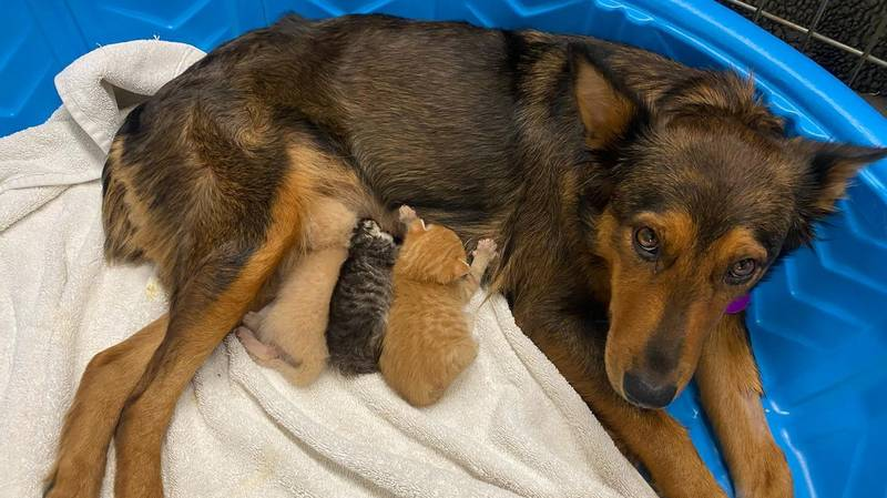 Grieving Dog Who Lost Litter Adopts Trio Of Orphaned Kittens