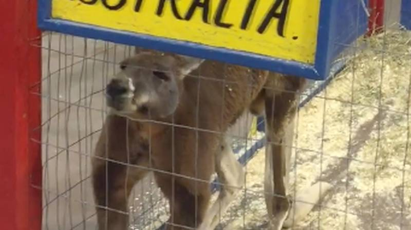 Petition Started To Get Kangaroo Out Of US Petting Zoo And Back To Australia