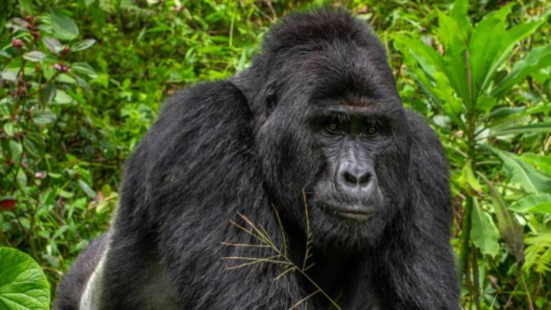 Well-Known And Rare Silverback Gorilla Killed By Hunters