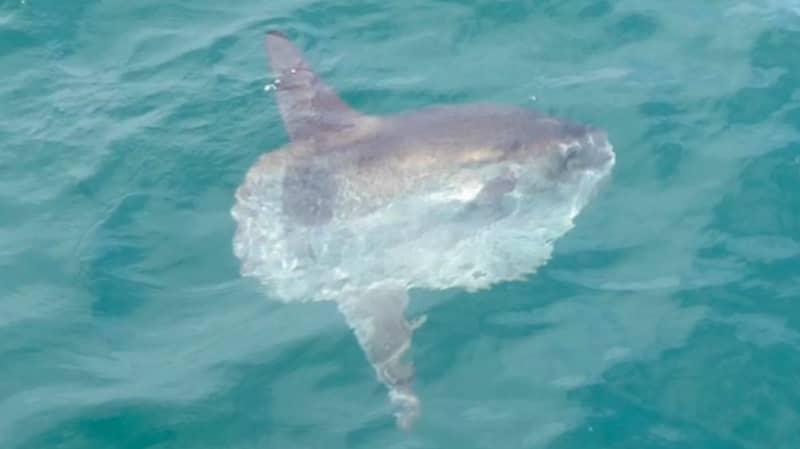 World's Heaviest Bony Fish Spotted Off UK Coast
